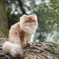 Золотая шиншилла. Фотограф Таня Турмалин. :: Таня Турмалин