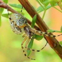 паук :: Олеся Нестеренко