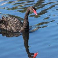 Черный лебедь. :: Дмитрий Солоненко