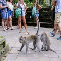 Monkey Forest. Bali. Очистка партнера от паразитов :: Sanjar Agzamov