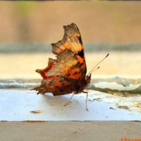 Залетала бабочка последняя прощаться.. :: Андрей Заломленков