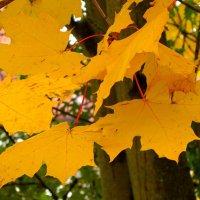 Кленовые листья :: Сергей Карачин