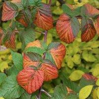 Цветёт малина осенью :: Николай Масляев