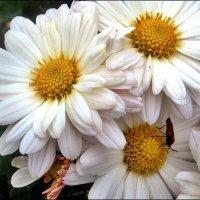 Хризантемы светлы, как ясный день... :: Нина Корешкова