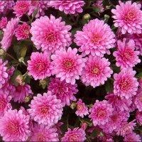 Пора цветения хризантем :: Нина Корешкова