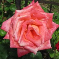 Королева цветов :: Дмитрий Никитин