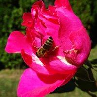 Пчелка на розе :: татьяна