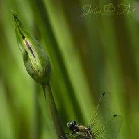 Стрекоза решетчатая (Orthetrum cancellatum) самец :: Юлия Тягушова