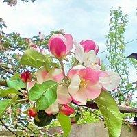 Цветущая яблоня 1 :: Kseniya Merkulova
