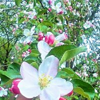 Цветущая яблоня 2 :: Kseniya Merkulova