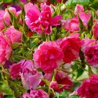 Летние красуются цветы :: Светлана