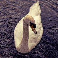 Лебедь белая :: Наталья Базанова