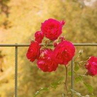 Летние розы :: Aнна Зарубина