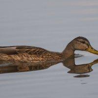 Кряква - или Когда все птицы улетели и снимать некого :: Svetlana Golovanova