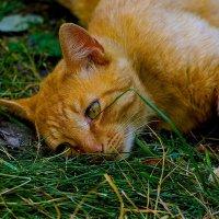 Наглая, рыжая морда. Утомилась... :: isanit Sergey Breus