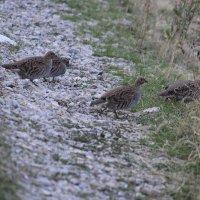 птенцы куропатки, Казахстан ЮКО :: Бахытжан