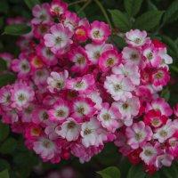 Хоть и маленькие , но розы.. :: Андрей Нибылица