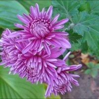 Хризантемы - украшение нашего двора :: Нина Корешкова