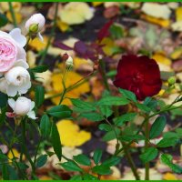 Еще немного о розах осенних...:) :: Любовь К.