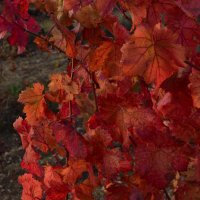 Виноград, просто виноград :: Игорь Кузьмин