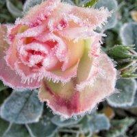 Розы на морозе :: Елена Милая
