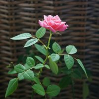 Rose :: Ольга Першина