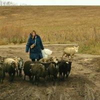 Овцы :: Татьяна Шаклеина