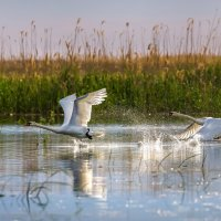 Дикие лебеди в дельте Волги :: Фёдор. Лашков