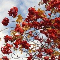 Сквозь ветви и гроздья рябины на тихое небо гляжу. :: Мила Бовкун