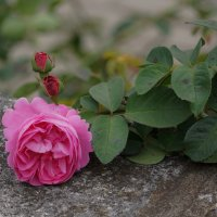 Роза сентября :: Ольга