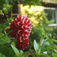 Роскошно в саду цветет георгин... :: Елена Kазак