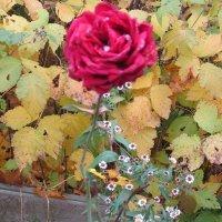 Роза красная в октябре :: Дмитрий Никитин