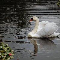 А белый лебедь на пруду... :: Александр Смольников