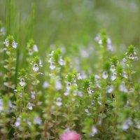 Полевые цветы. :: Ольга Зеленкова