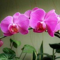 орхидея порадовала :: Valentina