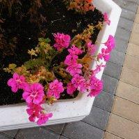 Городские цветы :: татьяна