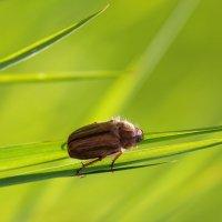 Просто жук :: Андрей