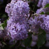 Сиреневый сад :: Мария Тишина