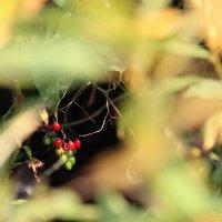 Волчии ягоды :: Рустам Ягафаров