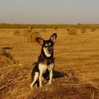 Собака на сене :: Владимир