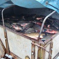 удачная рыбалка :: Александр