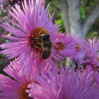 Пчелка. :: Павел Н