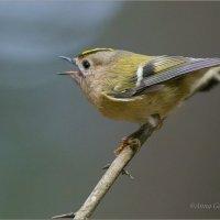 Королёк -птичка певчая :: Анна Солисия Голубева