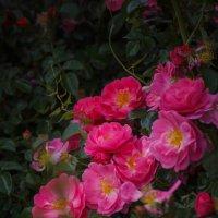 « Розы, розы, прекрасные розы! Я люблю Вас, царицы цветов!...» :: Андрей Нибылица