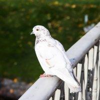Питерский голубь :: Андрей Щукин