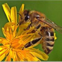 Пчелка :: Вячеслав Минаев