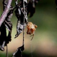 паук в засаде :: Александр Прокудин