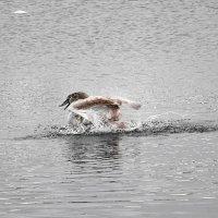 Молодой лебедь за утренним марафетом :: Маргарита Батырева