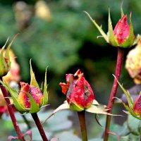 Ноябрь, а розы всё цветут. :: Михаил Столяров
