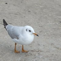 Чайка на берегу... :: Тамара (st.tamara)